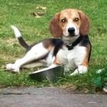 6 Month Old Beagle Biting