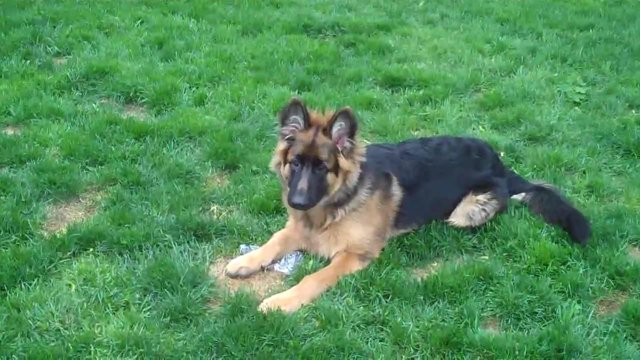 6 Month Old German Shepherd Biting
