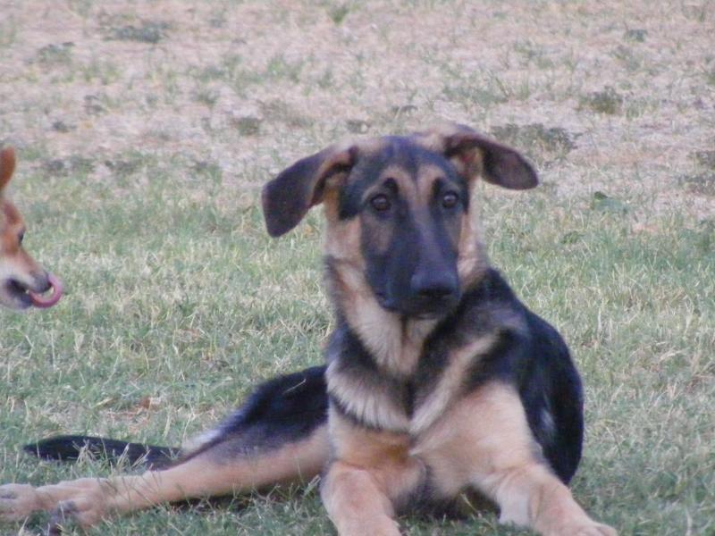 6 Month Old German Shepherd Ears Not Up