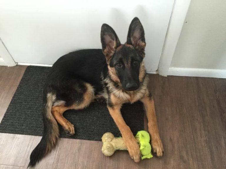 6 Month Old German Shepherd Female