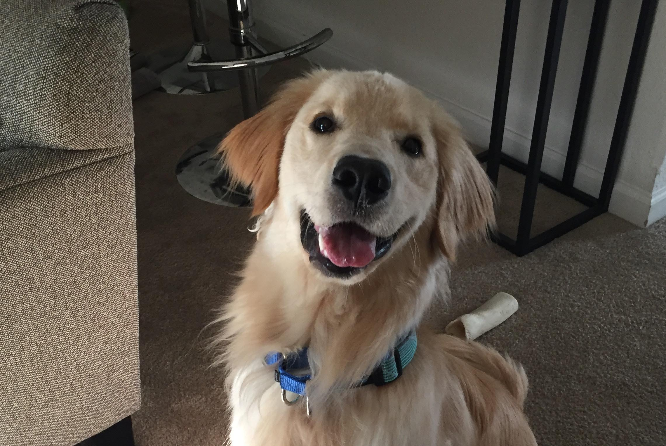 6 Month Old Golden Retriever Puppy Behavior