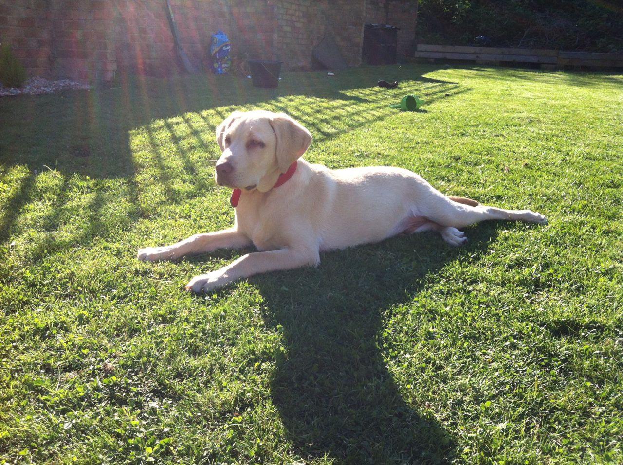 6 Month Old Labrador Retriever Size