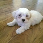 6 Week Old Maltese Shih Tzu