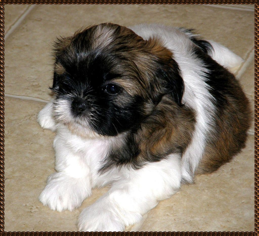 6 Week Old Shih Tzu Pup