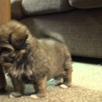 6 Week Old Shih Tzu Puppy Care