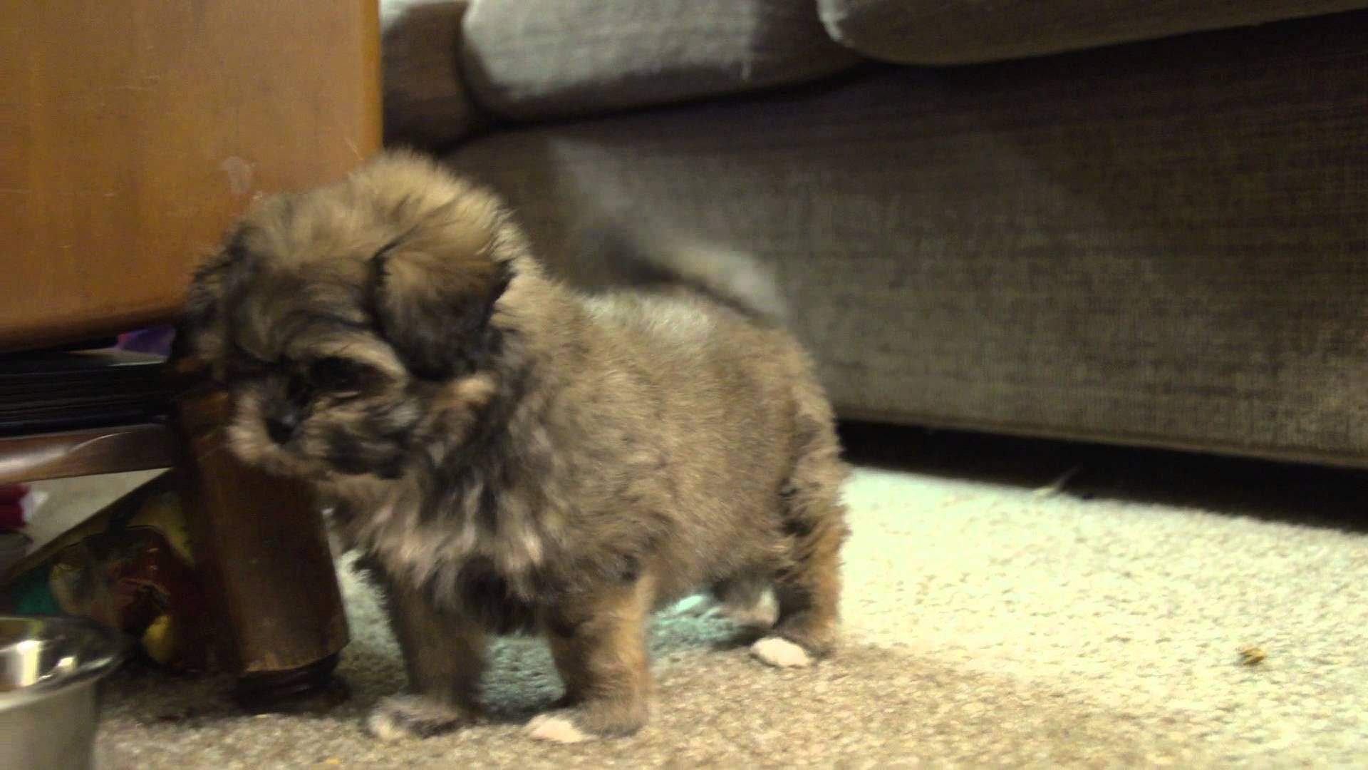 6 Week Old Shih Tzu Puppy Care