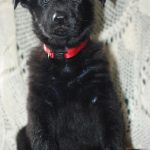 7 Week Old Black German Shepherd