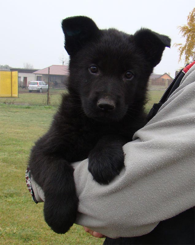 7 Week Old Black German Shepherd Puppy
