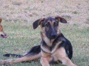 7 Week Old German Shepherd Ears
