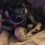 7 Week Old German Shepherd Puppy Biting