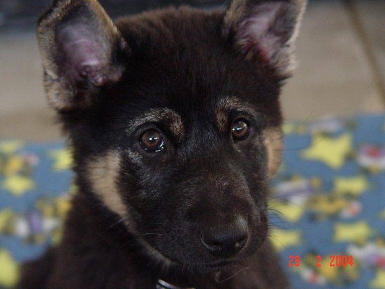 7 Week Old German Shepherd Puppy Weight