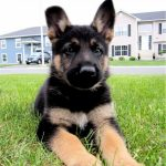 7 Week Old Sable German Shepherd