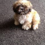 8 Week Old Imperial Shih Tzu