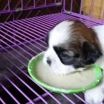 8 Week Old Shih Tzu Food