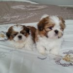 8 Week Old Shih Tzu Puppy