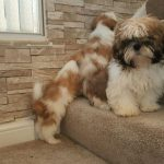 8 Week Old Shih Tzu Puppy Care