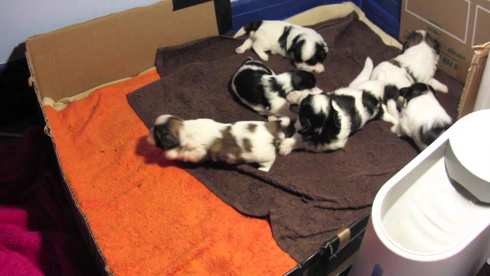 8 Week Old Shih Tzu Puppy Food