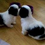 8 Week Old Shih Tzu Puppy Training