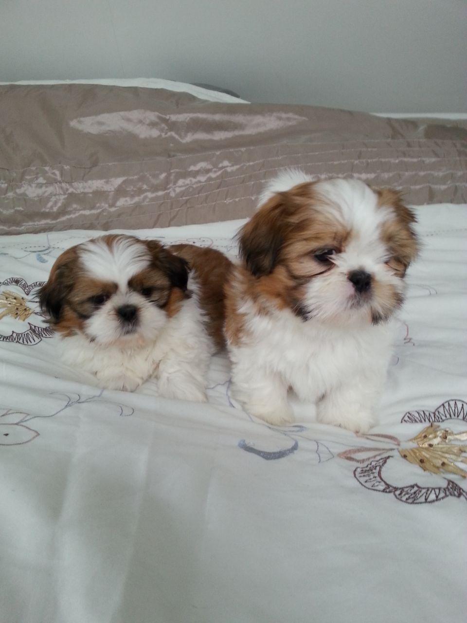 8 Week Old Shih Tzu Puppy