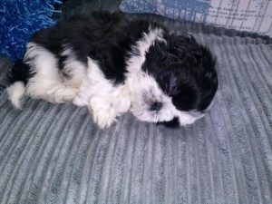 8 Week Old Shih Tzu Weight