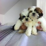 8 Week Old Shih Tzu with Fleas