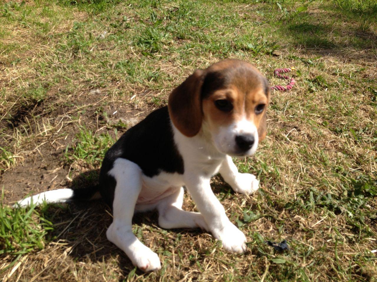 9 Week Beagle Puppy