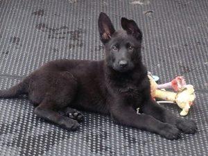9 Week Old Black German Shepherd