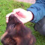 9 Week Old German Shepherd Biting