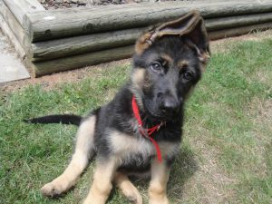 9 Week Old German Shepherd Ears