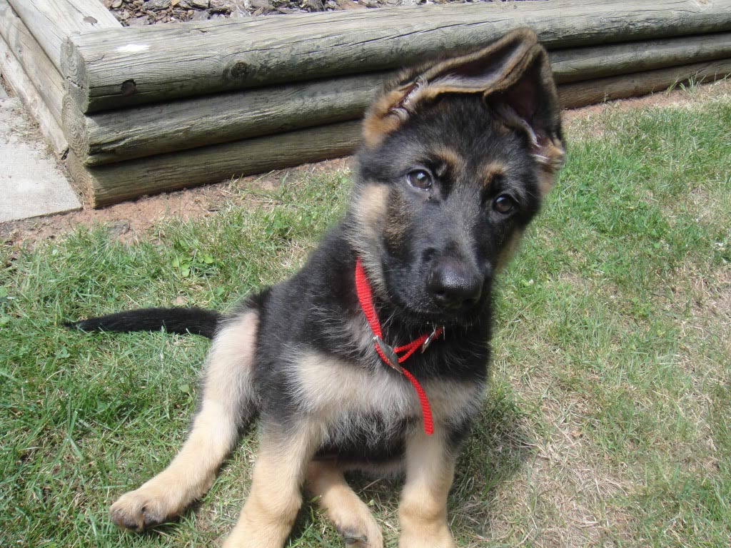 9 Week Old German Shepherd Ears
