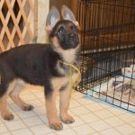 9 Week Old German Shepherd Puppies
