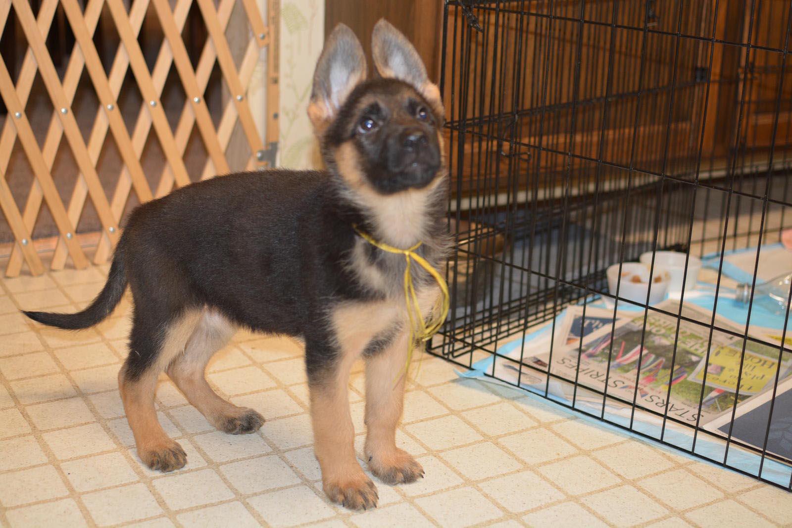 9 Week Old German Shepherd Puppies