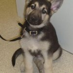 9 Week Old German Shepherd Puppy