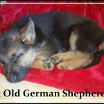 9 Week Old German Shepherd Puppy Ears