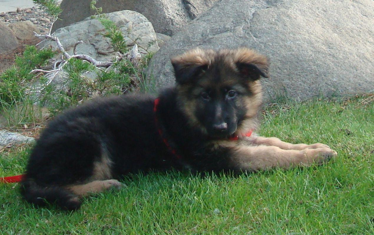 9 Week Old German Shepherd
