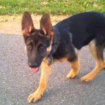 9 Week Old German Shepherd Weight