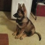 9 Week Old Sable German Shepherd