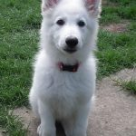 9 Week Old White German Shepherd
