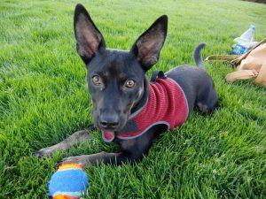 A German Shepherd Mixed with a Chihuahua