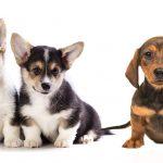 About Dachshund Beagle Mix
