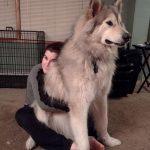 Alaskan Husky Wolf Mix