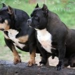 American Pitbull Terrier Blue Nose Para Venda