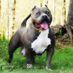 American Pitbull Terrier Breeders Blue Nose