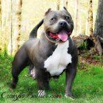 American Pitbull Terrier Breeders Blue Nose