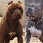 American Pitbull Terrier Red Nose vs Bluenose