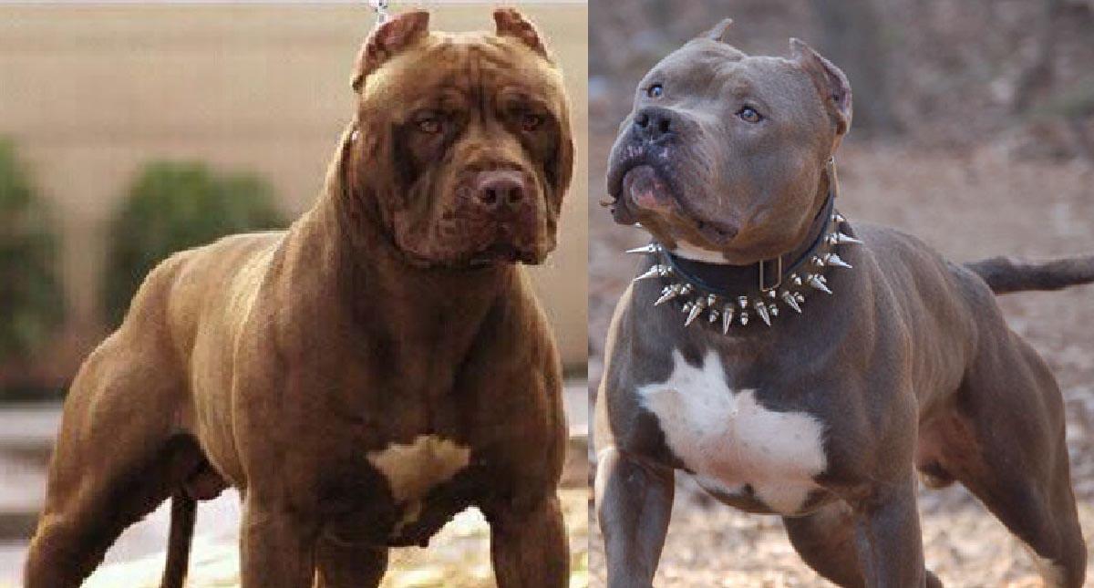 American Pitbull Terrier Red Nose vs Bluenose