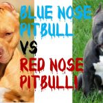 American Pitbull Terrier vs Blue Nose Pitbull