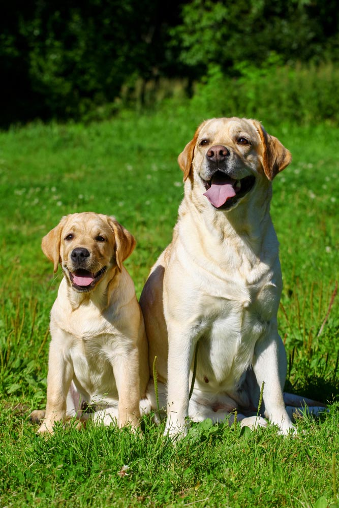 Average Labrador Retriever Weight