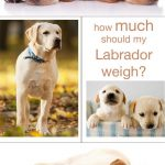 Average Weight Labrador Retriever Puppy