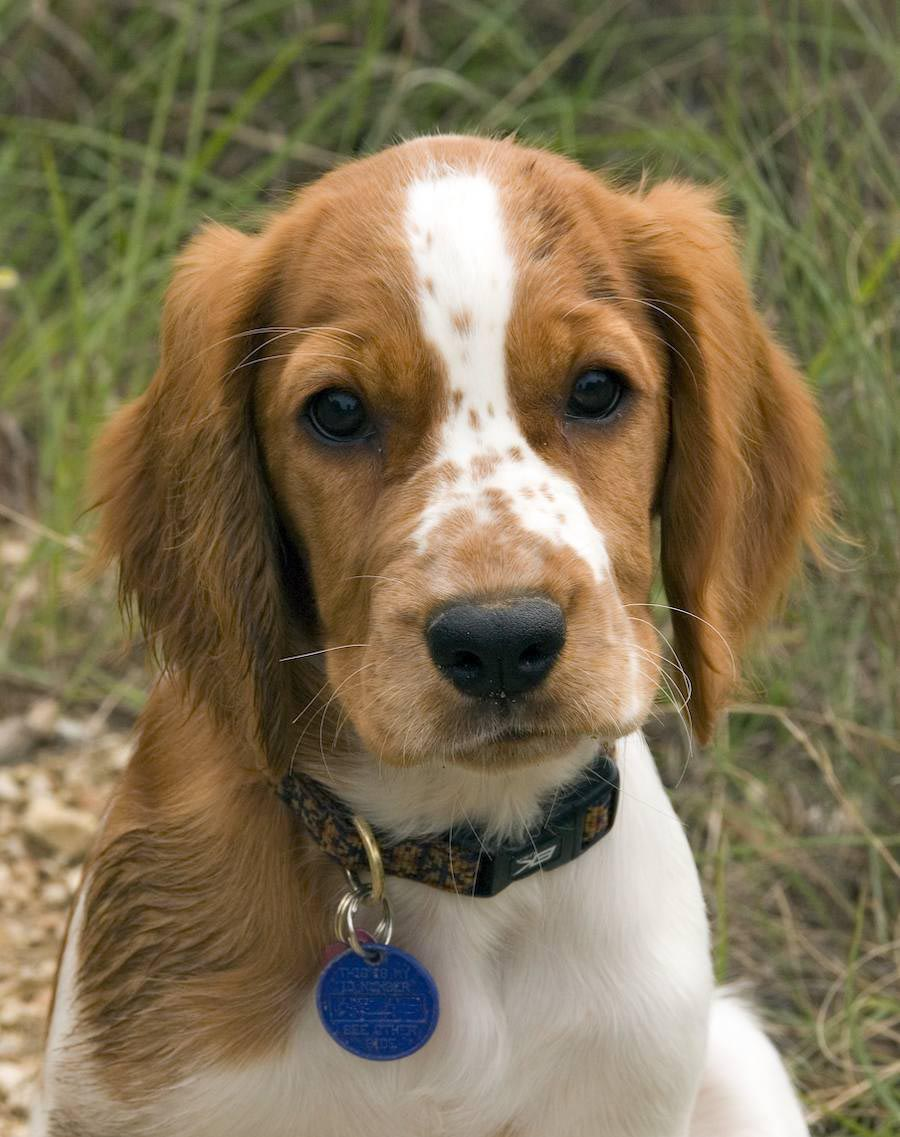 Beagle and Brittany Spaniel Mix